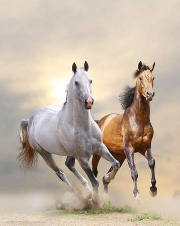 The horses gallop. Arab stallions.