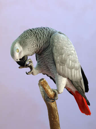 ruiseñor: Large Grey parrot