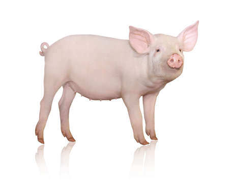 Pink funny pig isolated on white background Imagens