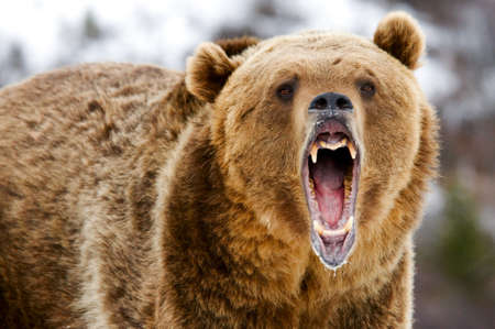 Grizzly Bear predatory animal skin fur hunting in the wild Stock Photo