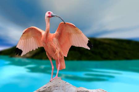 Ibis bird feather pink red nature landscape animal swamp forest pond