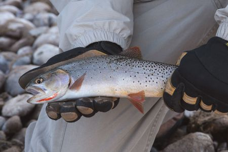Angler holding cutthroat trout.