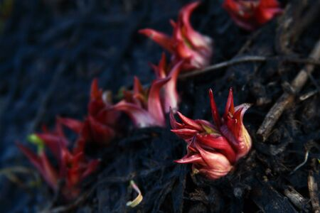 Red Sprouting Bulbs