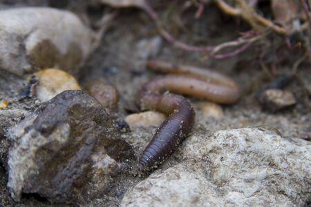 Earthworm Stock Photo - 3139324