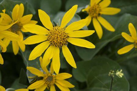 Arrow Leaf Balsam Root Flowers 版權商用圖片
