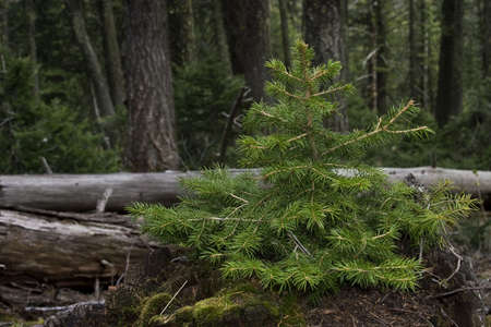 Douglas Fir Tree growing out of a rotting stump in a forest in Idaho. Stock Photo