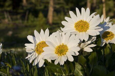 White Mules Ear Flowers