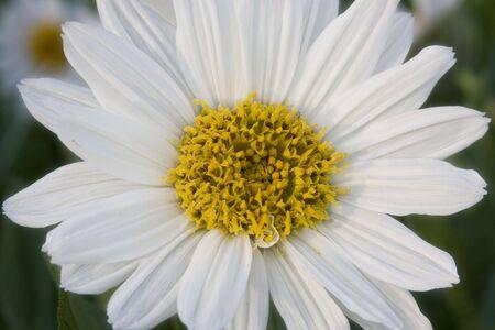 White Mules Ear Flower