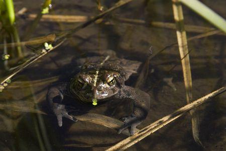 Brown Frog in Pond