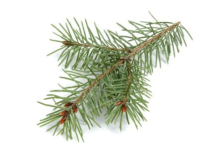 pine branches: Isolated Evergreen Branch Stock Photo