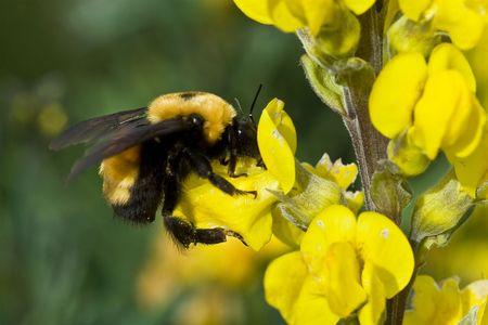 Bumblebee on a yellow wildflower Stock Photo