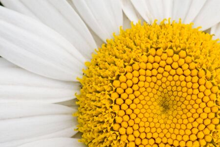 Macro view of a white daisy.