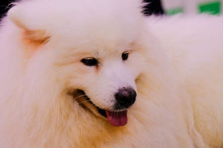 The intense portrait of a Samoyed dog. Samoyeds were originally used for hunting, herding reindeer, and hauling sledges for the Samoyede people in Siberia