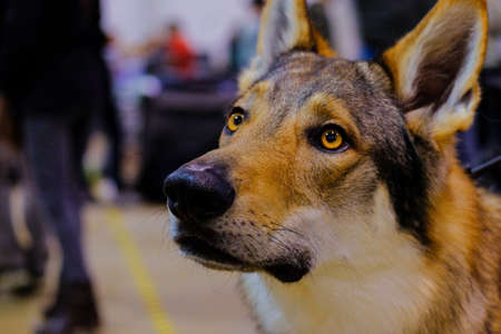 The teeth check of a Czechoslovakian Wolfdog during a dog show. The Czechoslovakian Wolfdog is a relatively new dog breed that traces its original lineage to an experiment conducted in 1955 in Czechoslovakia.