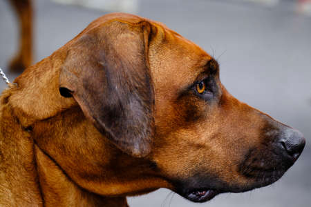 The head of a Rhodesian Ridgeback dog. It is a dog breed bred in the Southern Africa region.