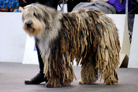 A magnificent specimen of Bergamasco Shepherd dog. It is a breed of dog with its origins in the Italian Alps near Bergamo, where it was originally used as a herding dog. 版權商用圖片