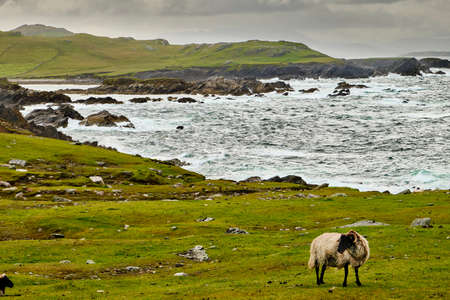 A Suffolk sheep near the Wild Atlantic Way, in Achill Island, County Mayo, Ireland. The wild coast is visible in the background.