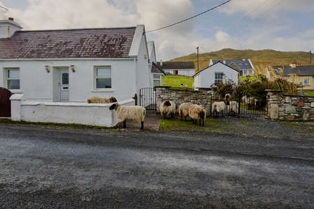Black-headed Shetland sheep even enter the balcony of a house on Achill Island, County Mayo, Ireland. They are very sociable and vigorous sheep. Stock Photo