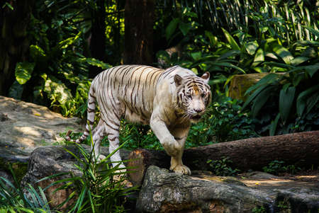 White Bengal Tiger walking in Singapore Zoo