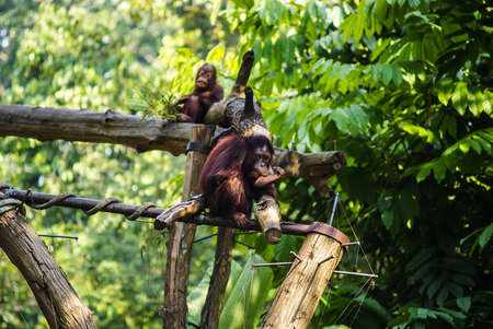 two orangutan in Singapour Zoo, one laughing, the other bored