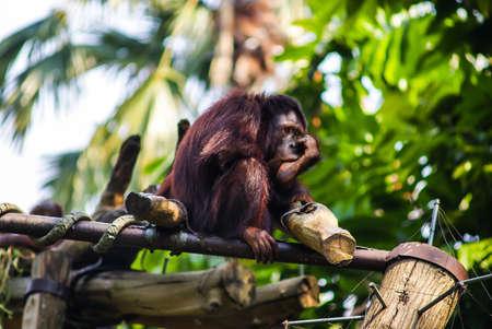 bored orangutan bored In singapore Zoo