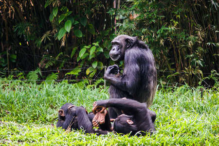 chimpanzee with two babes sitting