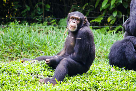 chimpanzee sitting with a straw in his mouth In singapore Zoo Stock Photo