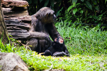 chimpanzee with babe sitting In singapore Zoo