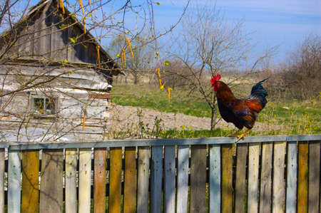 Rooster on a fence with a rustic house