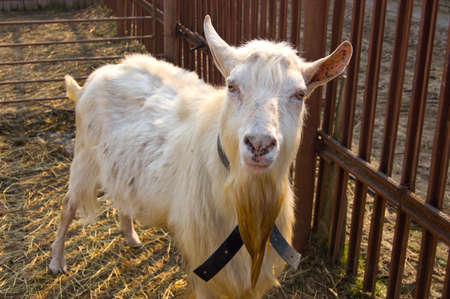 tethered: Goat tethered near the fence Stock Photo