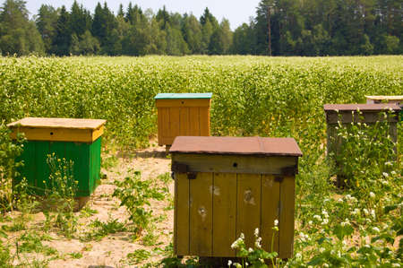 Apiary in the field on sowings of the buckwheat