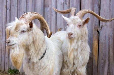 bocinas: Dos cabras blancas contra una valla de listones