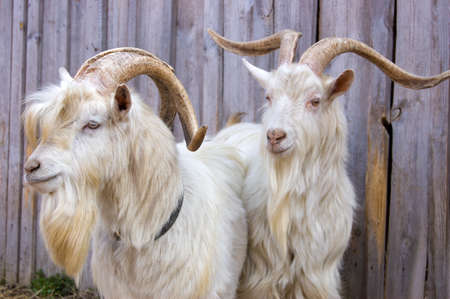 laths: Two white goats against a fence from laths