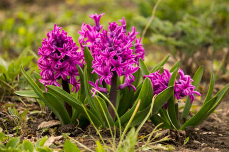 hyacinth: spring hyacinth Stock Photo