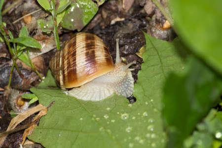 grape snail Stock Photo
