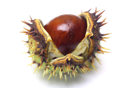 horse chestnut seed: Horse-chestnut (Aesculus hippocastanum, Conker tree) seed on a white background isolated. Stock Photo