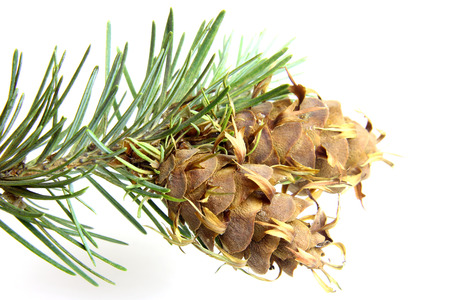 fir cone: Close up christmas tree brunch of of fir tree with pine cone isolated on white Stock Photo