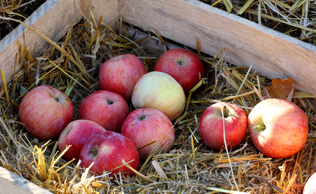 Rural farm natural organic autumn apples in wood box and hay Stock Photo
