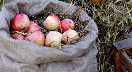 apple sack: Rural farm natural organic autumn apples on sack