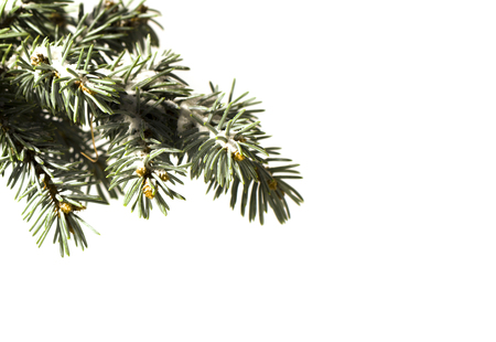 celebrat: Green Coniferous tree pine branch sprinkled with snow isolated on white background. Concept corner frame for Christmas or New Year congratulations blank card. Stock Photo