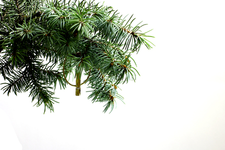 conservatory: Fir tree branch isolated on white background with gold thread and a pin in top frame corner. Ready for product placement New Year and Christmas blank template. Big white copyspace place for text.