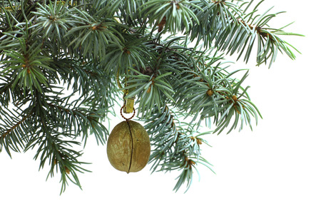 conservatory: Fir tree branch isolated on white background with gold walnut in top frame corner. New Year and Christmas blank template. Big white copyspace place for text or logo.