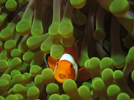 false percula: False clown anemonefish  Amphiprion ocellaris   in green anemone photographed in the Komodo National Park in Indonesia  Anemonefish have a symbiotic relationship with sea anemones, to which stings they are immune  This species is known in popular culture  Stock Photo