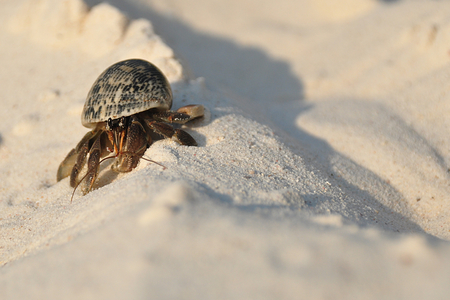 similan islands: Hermit crab struggling up a heap of sand on a beach on one of the Similan Islands in Thailand.