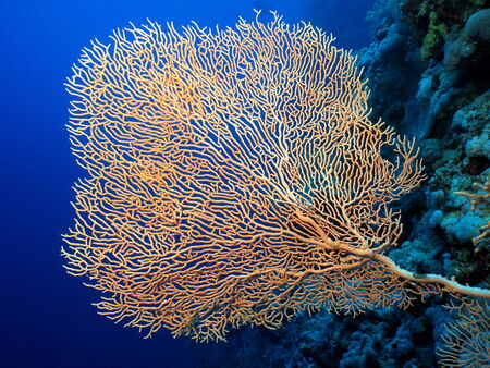 gorgonian: Single well branched gorgonian on a blue water background