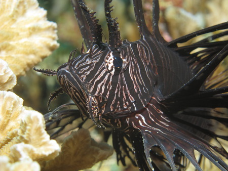 common lionfish: Common lionfish (Pterois volitans) in its juvenile phase indicated by black coloration. As other fish belonging to the scorpionfish family the common lionfish has venomous fin spines.
