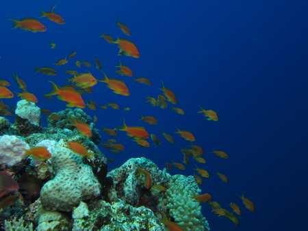 reefscape: Group of sea goldies (orange anthiases) on a blue water background