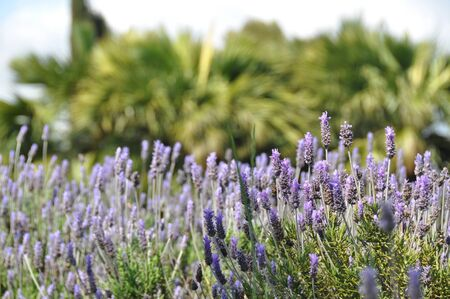 Lavender flowers blooming in nice Stock Photo