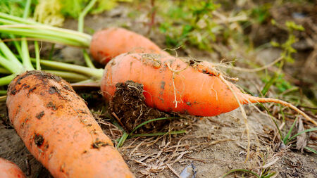 Carrot just freshly pulled from the earth