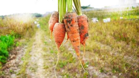 Organic carrot just freshly pulled from the earth Stock Photo